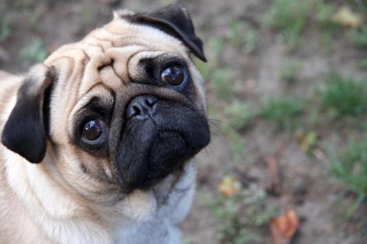 Porqué roncan los perros chatos?: El síndrome braquiocefálico ...
